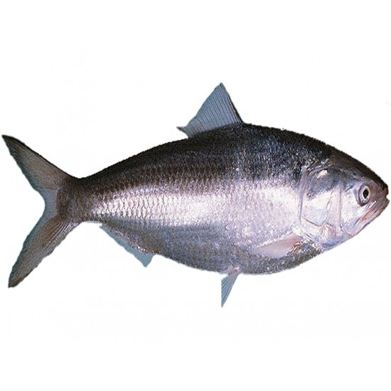 Al Madina Fisk Hilsa 500/800