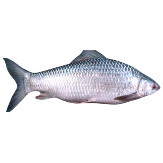 Al Madina Fisk Mirgal shabot